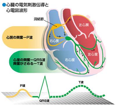 心臓の電気刺激伝導と心電図波形イラスト