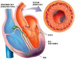 心臓・血管断面図