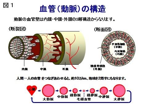図1血管の構造.jpg